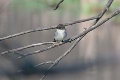 2016 Eastern Phoebe 7 (DrLensCap) Tags: park chicago bird robert nature illinois village north center il phoebe eastern kramer flycatcher