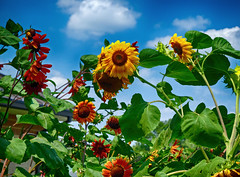 Sunflowers in Maryland (` Toshio ') Tags: flowers summer plants cloud nature leaves gardening maryland baltimore sunflowers toshio xe2 fujixe2
