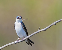 Tree Swallow (Tachycineta bicolor) 06052013_0001 (Steve Lindsay2010) Tags: ontario canada nature natural kitchener bicolor treeswallow tachycineta wwwgripskwca