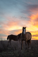 Horses + sunset (Mónica Etcheverry) Tags: light sunset portrait sky horses pets luz argentina atardecer caballos nikon day retrato dia cielo frame animales marzo mascotas encuadre 2013 d3100 monicaetcheverry