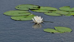 White Water Lily (Sharpj99) Tags: