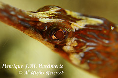 Syngnathus acus - pipefish (Henrique J. Marques Nascimento) Tags: macro underwater mergulho sigma supermacro henrique sesimbra acus underwaterphoto sigma105 sigma105mm smacro syngnathusacus syngnathus nikond90 underwatermacro henriquenascimento hugyfothousingunderwater