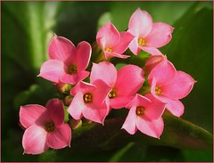 pink kalanchoe (Foto Dominic (OFF)) Tags: pink flowers kalanchoe fotodominic
