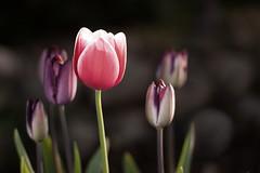 Freitagsblmchen - Dankeschn fr all die lieben Wochenendgre von Reinhard! (O.I.S.) Tags: pink flowers garden spring purple tulips rosa blumen lila blooms garten frhling tulpen blten