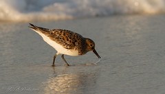 Beautiful shorebird (Rick Smotherman) Tags: ocean beach gulfofmexico nature water birds outdoors morninglight spring fishing feeding may overcast 7d destin runningwater shorebird canon300mmf4l canon7d