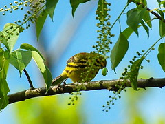 2.Prairie Warbler nabbing a caterpillar (A. Drauglis) Tags: tree bird eating birding caterpillar va frontroyal chokecherry prairiewarbler scbi smithsonianconservationbiologyinstitute setophagadiscolor