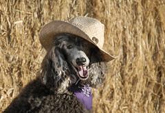 19_52/2 Howdy (The Pack) Tags: dog smile silver cowboy tag poodle hay bandana standard cowboyhat standardpoodle 52weeksfordogs