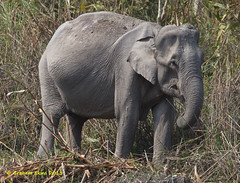 Asian Elephant, Indian Elephant,  Elephas maximus,  IUCN Endangered,   female, (Graham Ekins) Tags: india wildlife assam familygroup asianelephant resident elephasmaximus indianelephant isaf kaziranganationalpark canon400mmf4 iucnendangered canon1dmkiv grahamekins ah9k4179