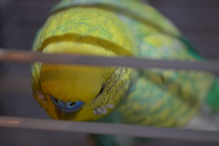 Sundance The Budgie (joel7223) Tags: bird birds parrot budgerigar budgie parakeet sundance yellowbudgie