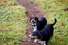 Sage and Dala (Thaddz) Tags: dog puppy hiking trail northcascades sennenhund entlebucher entlebuchermountaindog