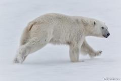 Don't run away! (Hkon Kjllmoen, Norway) Tags: bear coastguard ice norway fur is big furry friend fast run norwegian polarbear hunter hungry predator sn isbjrn 2013 kvsvalbard