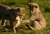 Cheetah Cubs Learning to Hunt (Ami 211) Tags: bigcat cheetah bigcats cheetahcub acinonyxjubatus felidae acinonyx felinae cheetahcubswithkill