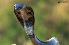 Indian Cobra (Ameyavikram) Tags: india cobra snake venomous bigfour indiancobra najanaja snakesofindia deadliestsnake