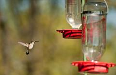 Stop in the Action (Kevin VanEmburgh Photography) Tags: bird nature speed wings nikon hummingbird flight birdfeeder fast missouri kv whitebird colecamp nikond700 kvanemburgh