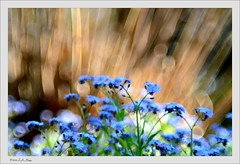 Bold Beginnings (pooties pics) Tags: flowers blue brown macro colors landscape bokeh sparkle forgetmenots