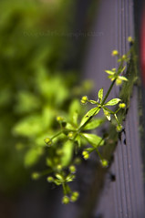 An Unexpected Guest (Doug.Mall) Tags: climb vine ethereal buds macromondays dougmallnikond5000