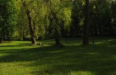Die lustigen Witwen (Salix x pendulina) (2 Trauerweiden) auf der Feuchtwiese im Baccumer Wald HS8_6145 aa (Chironius) Tags: emsland germany deutschland niedersachsen allemagne alemania germania германия messingen trauerweide weide salix osier willow marsault saule sauce salice salcio ива söğüt wilg baum bäume tree trees arbre дерево árbol arbres деревья árboles albero árvore ağaç boom träd lingen baccumerwald baccumerforst wald lingenerhöhe weepingwillow rosids fabids malpighienartige malpighiales weidengewächse salicaceae weiden grün landschaft и́ва forest forêt лес bosque skov las