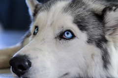 Project Flickr Week20-Blue (xTexAnne) Tags: blue arizona dog eye husky tucson siberianhusky projectflickr issis diannewhite