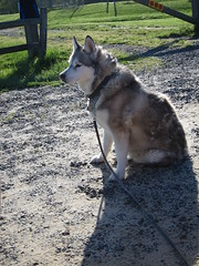 Lulu Sitting at the Park (sameold2010) Tags: park new dog pet newjersey spring woods husky sitting lulu nj siberianhusky sit jersey siberian crows haddonfield 2013 crowwoods