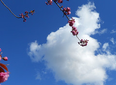 Cherry Cloud (Sotosoroto) Tags: flowers washington cherries branches blossoms greenlake