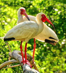 Two in the Forest (Jeff Clow) Tags: nature birds dallas bravo texas dfw whiteibis rookery matingpair avianexcellence tpsnature