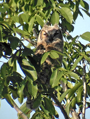 Great Horned Owl (K Schneider) Tags: great owl juvenile bubo horned virginianus ebird