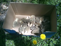 IMG_20130512_131948.jpg (Walker the Texas Ranger) Tags: mushroom mushrooms farm hamilton mo missouri morel jamesport 2013