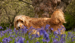 Come and smell the bluebells... (rosejones1uk) Tags: trees dog sunlight spring bluebell