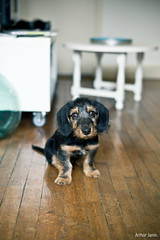 TOBI 3 mois! (Arthur Janin) Tags: leica light portrait dog chien puppy 50mm arthur natural lumire f14 vignettage vignetting summilux asph chiot teckel m9 janin poils aspherical durs