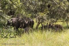 White Rhinoceros (robsall) Tags: africa vacation wildlife rhino uganda rhinoceros albertine whiterhino whiterhinoceros rift ziwa ceratotheriumsimum wildlifephotography centralregion albertinerift grassrhinoceros ziwarhinosanctuary robsall africaalbertinerift grassrhino robsallwildlifephotography