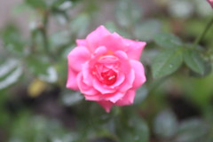 Rosa chinensis (China Rose) (psytiko) Tags: rosaceae rosachinensis minirosa