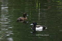 Mr & Mrs Tufted duck (tommyajohansson) Tags: bird london birds geotagged duck ducks barnes oiseau pajero vogel oiseaux tuftedduck fglar fgel londonwetlandcentre tuftedducks pajeros vigg vogeln tommyajohansson