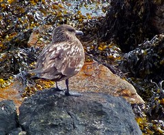 Great skua on Fara (JanuaryJoe) Tags: scotland orkney scapa fara orkneyislands