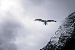 The frozen seagull (Javier Medina M.) Tags: sky blackandwhite bw bird blancoynegro norway ferry clouds flying cloudy seagull bn noruega fjord pajaro gaviota a330 fiordo gudvangen fläm nærøyfjord sonyalpha alpha330 sonydt1855mm