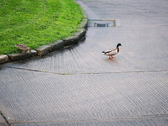 Why did the duck cross the road? (turgidson) Tags: road ireland bird studio lens four lumix duck raw cross zoom g x panasonic telephoto developer micro pro mallard wicklow f28 bray dmc thirds converter vario m43 silkypix gh2 35100mm 35100 41442 mirrorless lumixg microfourthirds panasonicgh2 panasoniclumixdmcgh2 silkypixdeveloperstudiopro41442 p1130611 panasonic35100 panasoniclumixgxvario35100mmf28 hhs35100