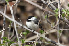 Black-capped Chickadee (Jeremy Meyer) Tags: bird chickadee milwaukee blackcappedchickadee lakepark blackcapped