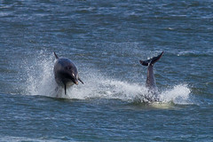Dolphin breach (ritchiecam) Tags: nature canon dolphin aberdeen 7d torry breach 400mm