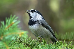 Mountain Music (ebirdman) Tags: mountain chickadee poecilegambeli mountainchickadee poecile gambeli