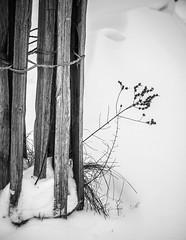 Fragile (glidblue) Tags: wood winter bw snow grass hiver nb neve neige inverno protection ciaobella bois herbe namur citadelle barrière tuteur végétal tempsgris aplusphotos glidblue mygearandme rememberthatmomentlevel1