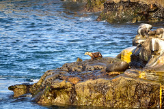 LA JOLLA, CALIFORNIA* (gobucks2) Tags: california rocks sandiego wildlife lajolla cliffs seals oceans lajollashores coves lajollacove smalltowns lajollacalifornia sandiegocalifornia 2013 pacificoceans april2013 may2013 spring2013
