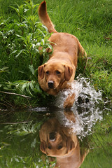 Gundogs at Pond Meadow (jane currie) Tags: dog reflection water golden pond gun labrador norfolk splash dummy retrieve