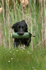 Gundogs at Pond Meadow (jane currie) Tags: dog black water grass reeds gun norfolk spaniel splash dummy retrieve