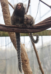 White tufted ear Marmosets (FuriousGM) Tags: white animals zoo ear tufted marmoset primates calderglen