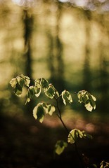 Greengreen leaves (Anders Jauring) Tags: backlight forest smog boo beech motljus
