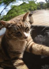 "stray cat ""Ichi"" (snopan_) Tags: iso400 f28 11000 sigma15mmf28exdgdiagonalfisheye club16 nikond800"