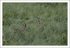 couple (*jos*) Tags: italy nature animals outdoor wildlife piemonte roebuck vallidilanzo valadedlans
