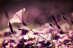 Open Your Heart (Alex Stoen) Tags: pink wild naturaleza flower macro nature beauty canon geotagged spain soft flickr bokeh violet poetic kind wilderness naturalbeauty wildflower smugmug storytelling facebook shallowdof ef24105f4lisusm elcampello creativecomposition canoneos5dmarkii ef25iiextensiontube 5dmk2 alexstoen alexstoenphotography composicioncreativa