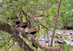 Black-bellied Whistling Ducks or Tree Ducks (Dendrocygna autumnalis) at Pointe-a-Pierre Wildfowl Trust, Trinidad. (One more shot Rog) Tags: wild nature fauna duck wings wildlife feathers ducks swamp trinidad tobago whistling beaks wildfowl wildfowltrust blackbelliedwhistlingduck pointeapierre