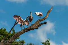 Roseate Spoonbill (robert whitaker photos') Tags: birds wildlife places roseatespoonbill alligatorfarmstaugustine