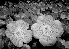 Mexican Primroses in Duotone (greenthumb_38) Tags: flowers flower duo mexican crop duotone strobe mexicanprimrose primrose bedofflowers strobist jeffreybass canong12